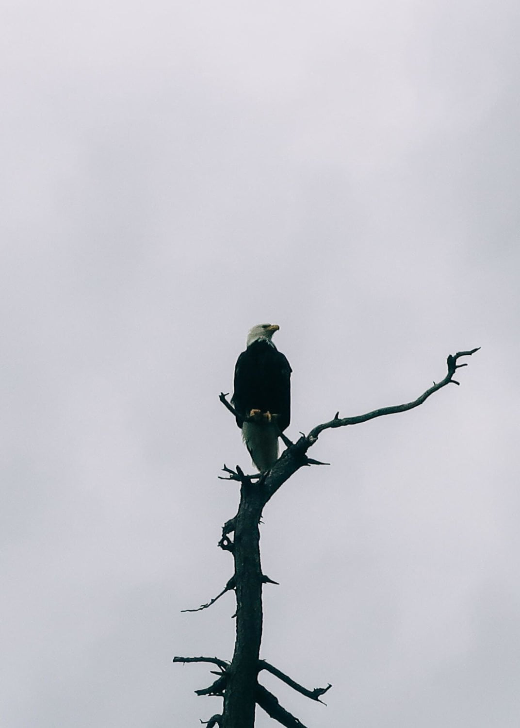 close up of eagle on savary island