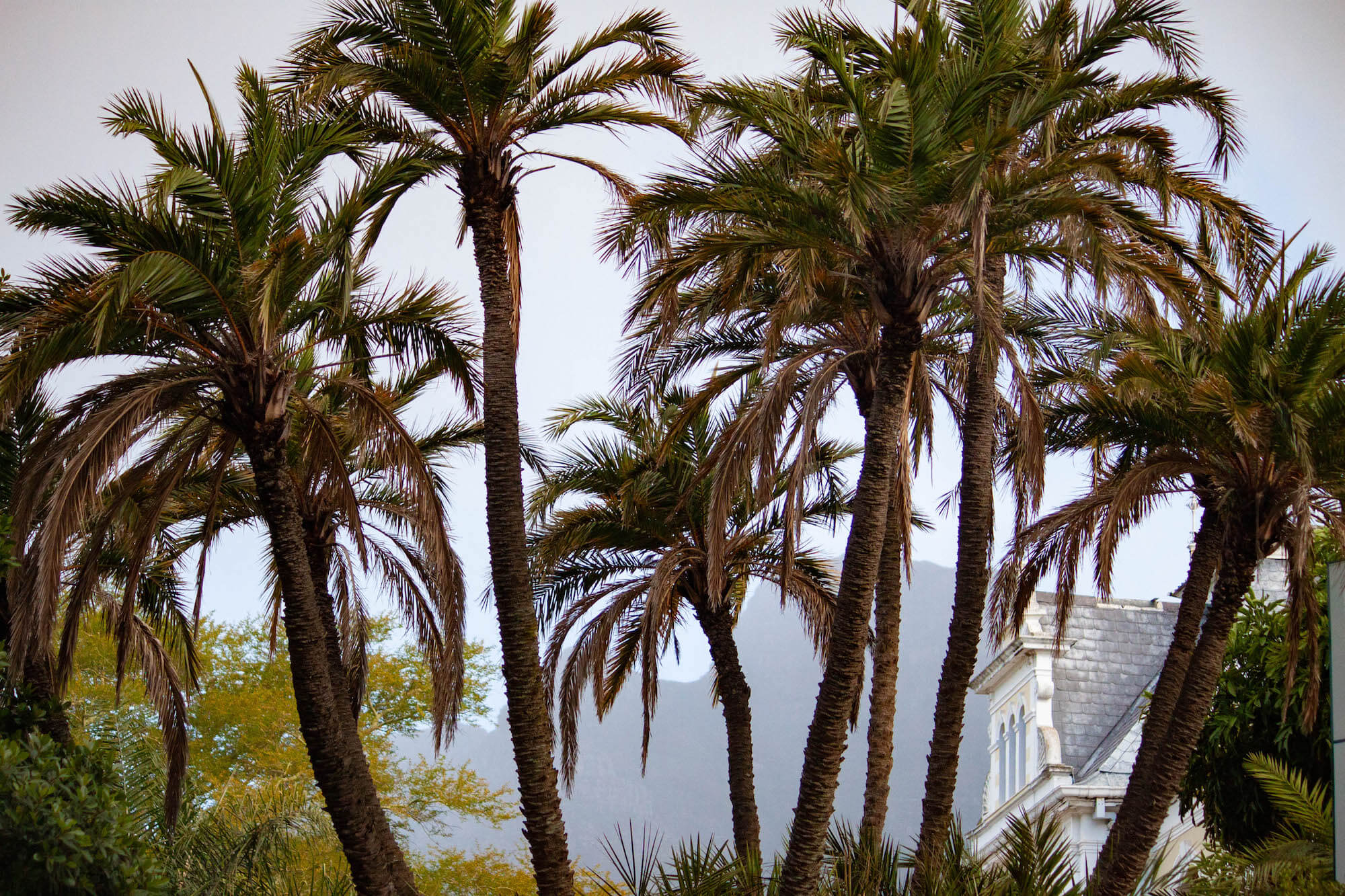 Palm trees of Company's Garden and rainy Table Mountain