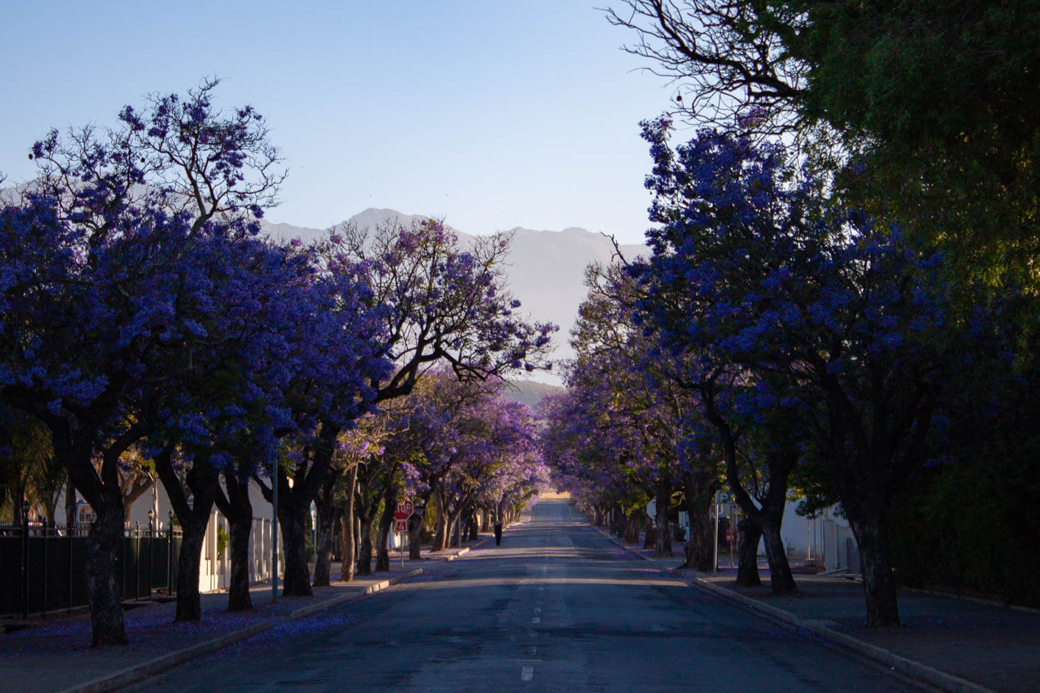 Empty street lined with flowering jacaranda trees