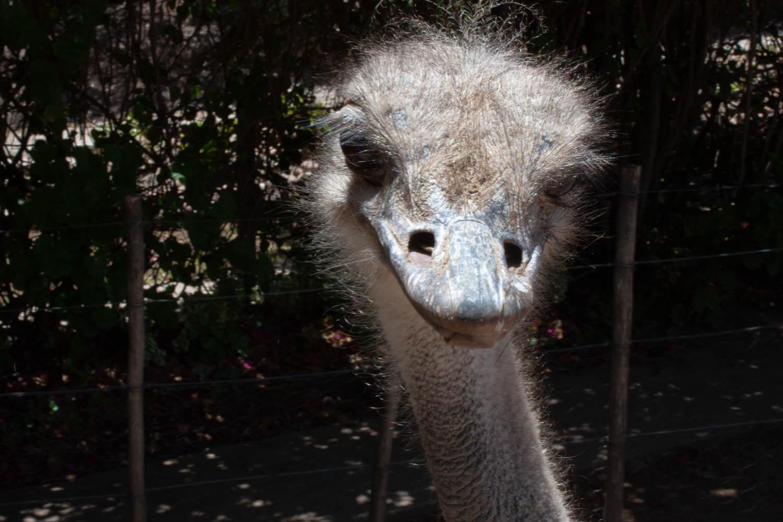 Ostrich head close-up