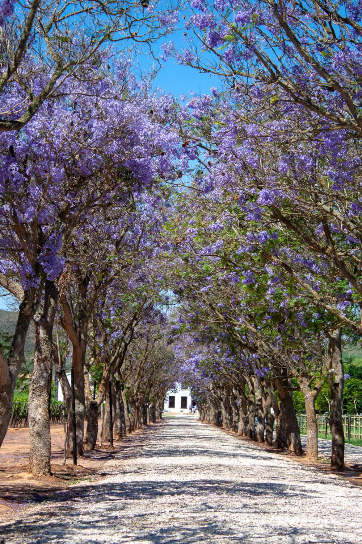Lane of jacarandas down towards a winery