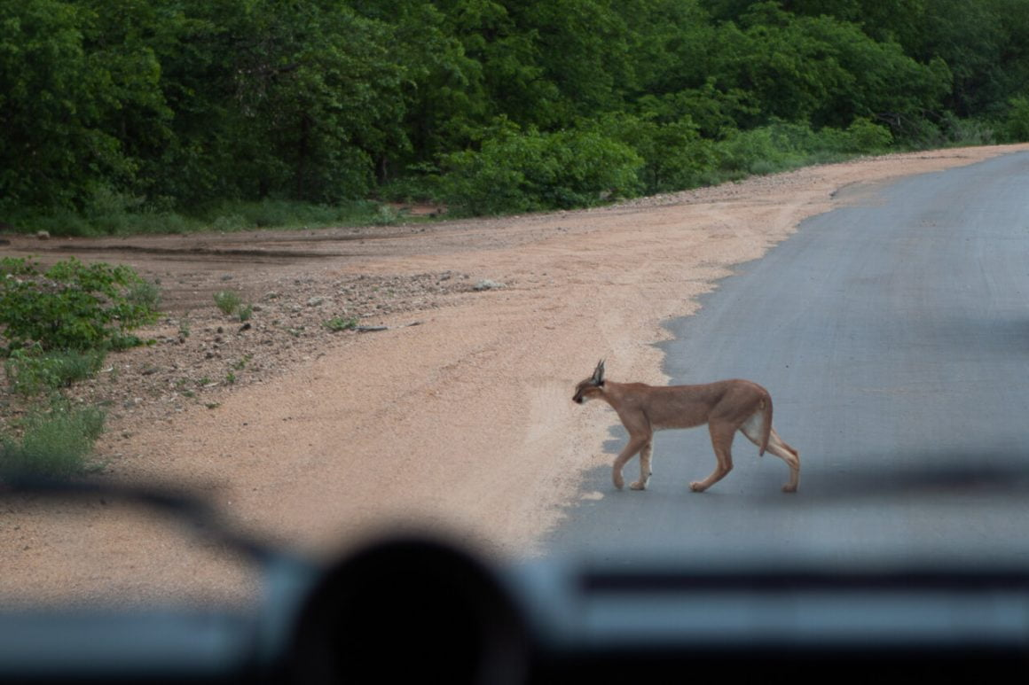 Caracal crossing the road in front of us.