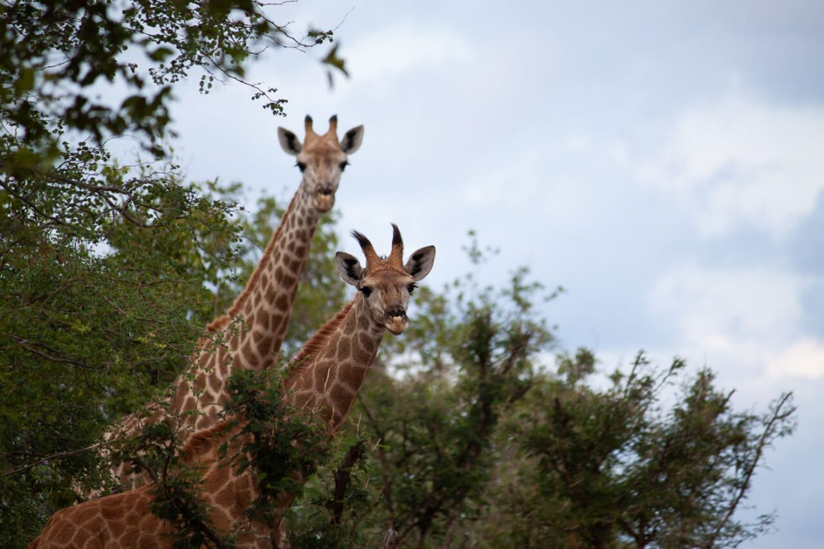 Giraffes we saw poking their heads out during our Kruger Park safari.