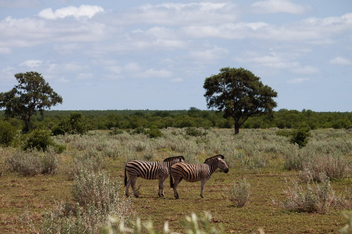 Zebras failing to blend into the green grass and trees of Kruger Park.