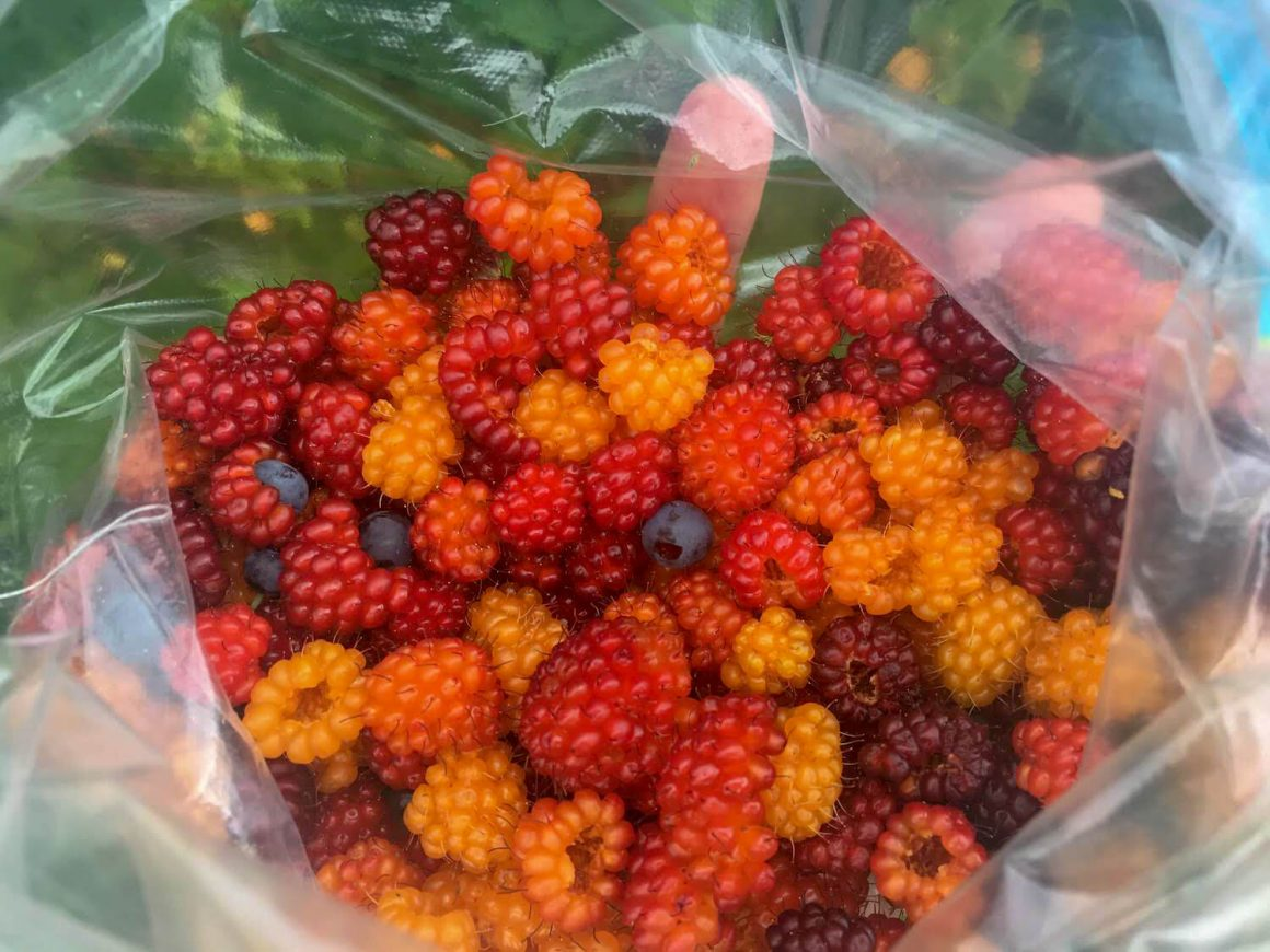 Wild foraged berries picked near Vancouver