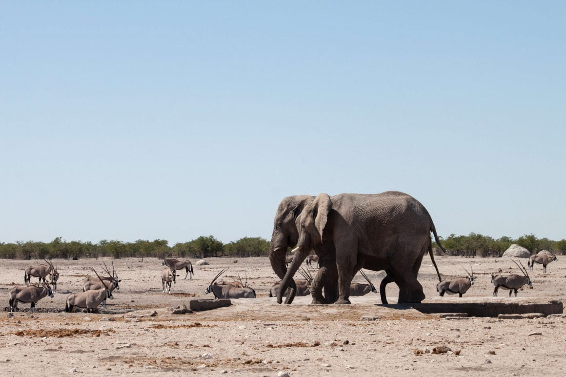 Elephants and other animals at the wate hole in Etosha.