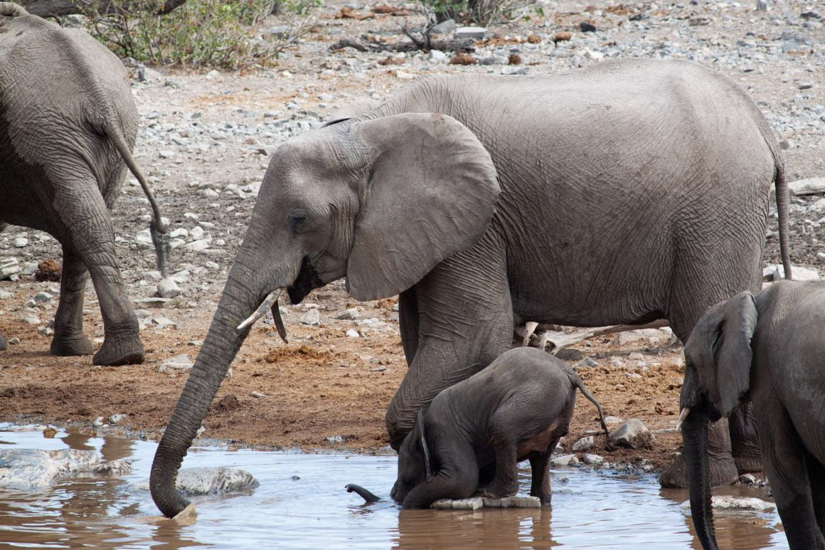 Baby elephant learns how to drink at a watering hole in Etosha National Park in Namibia