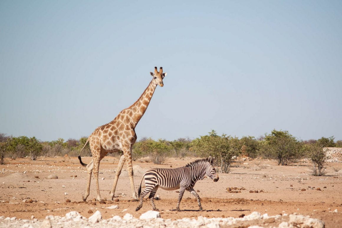 Giraffe and Zebra walking away from a watering hole in Etosha national park.