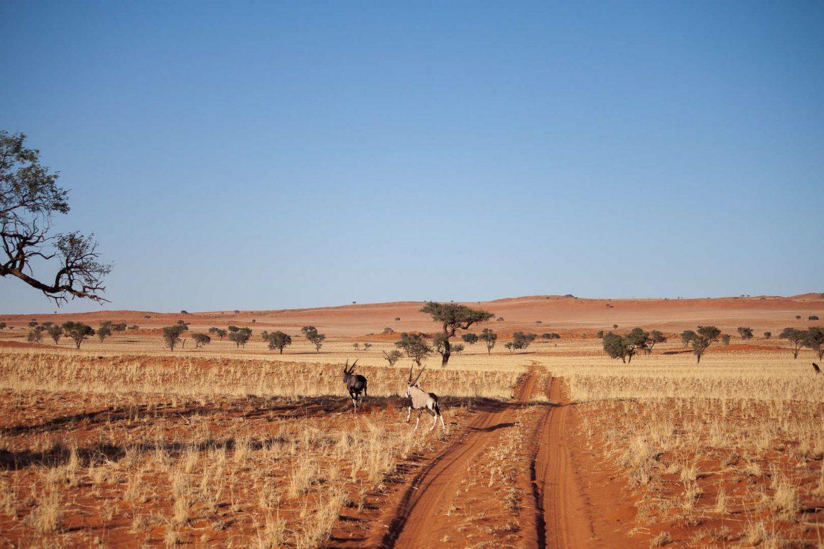 Oryx running across the sand in Namibrand.