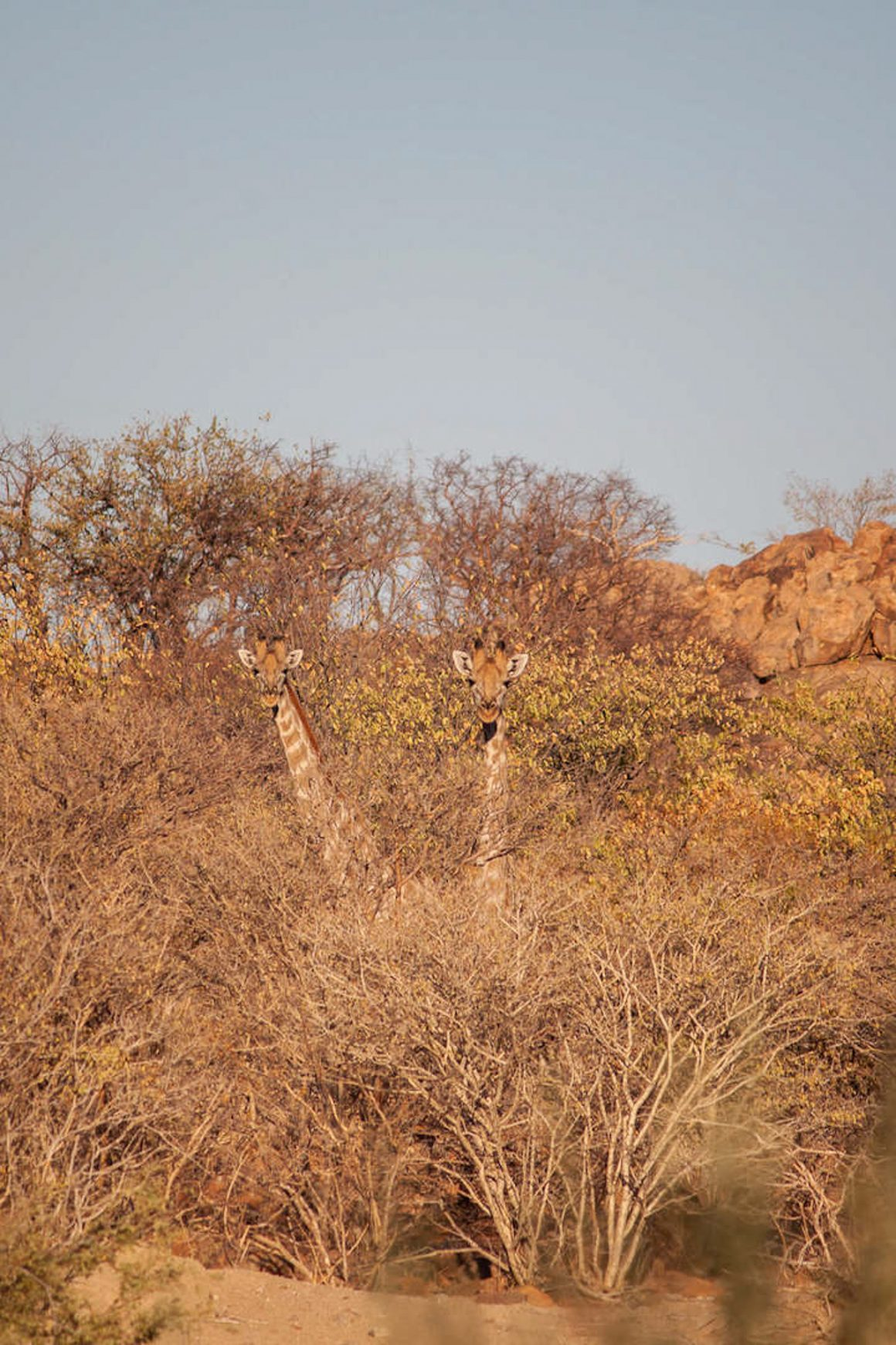 Two giraffes hiding in the trees in Kamanjab