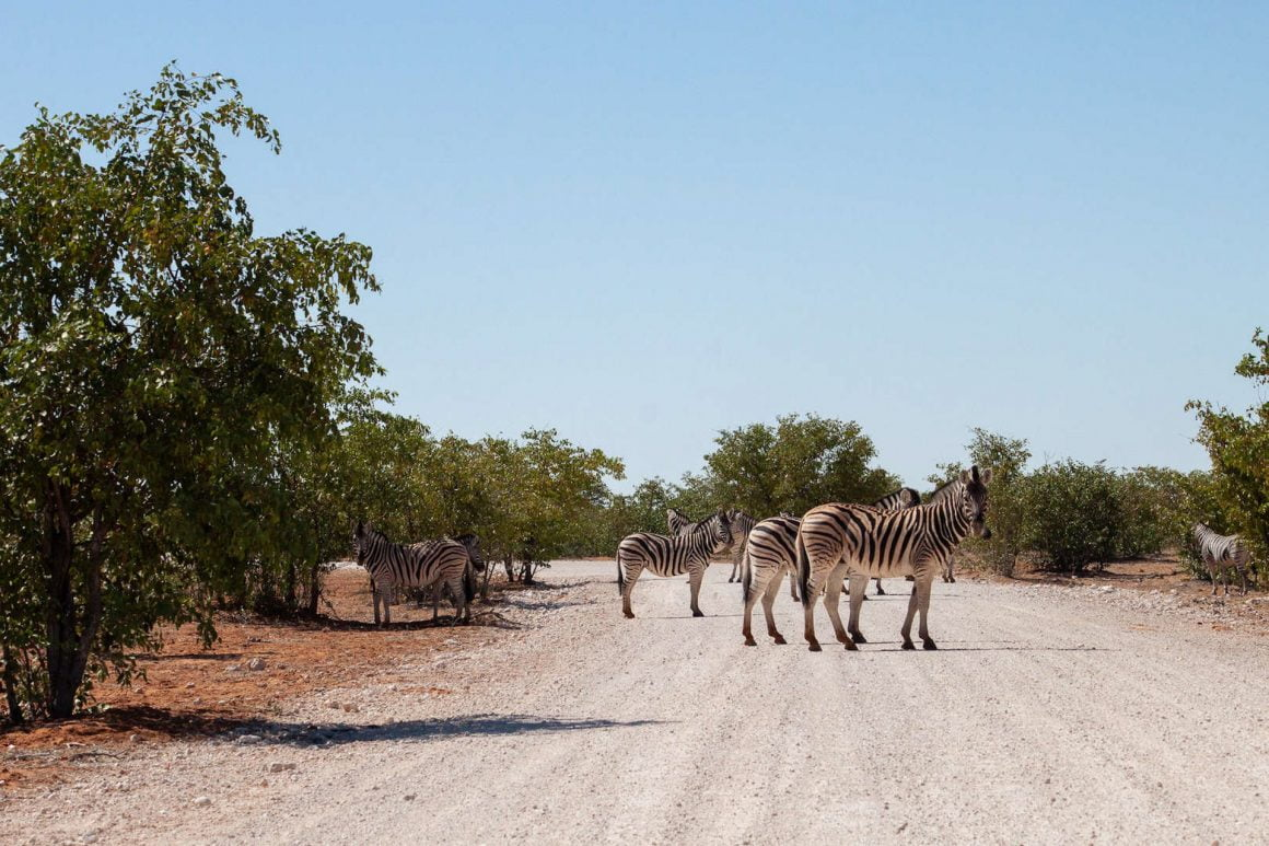 Zebra crossing the gravel road in Etosha.