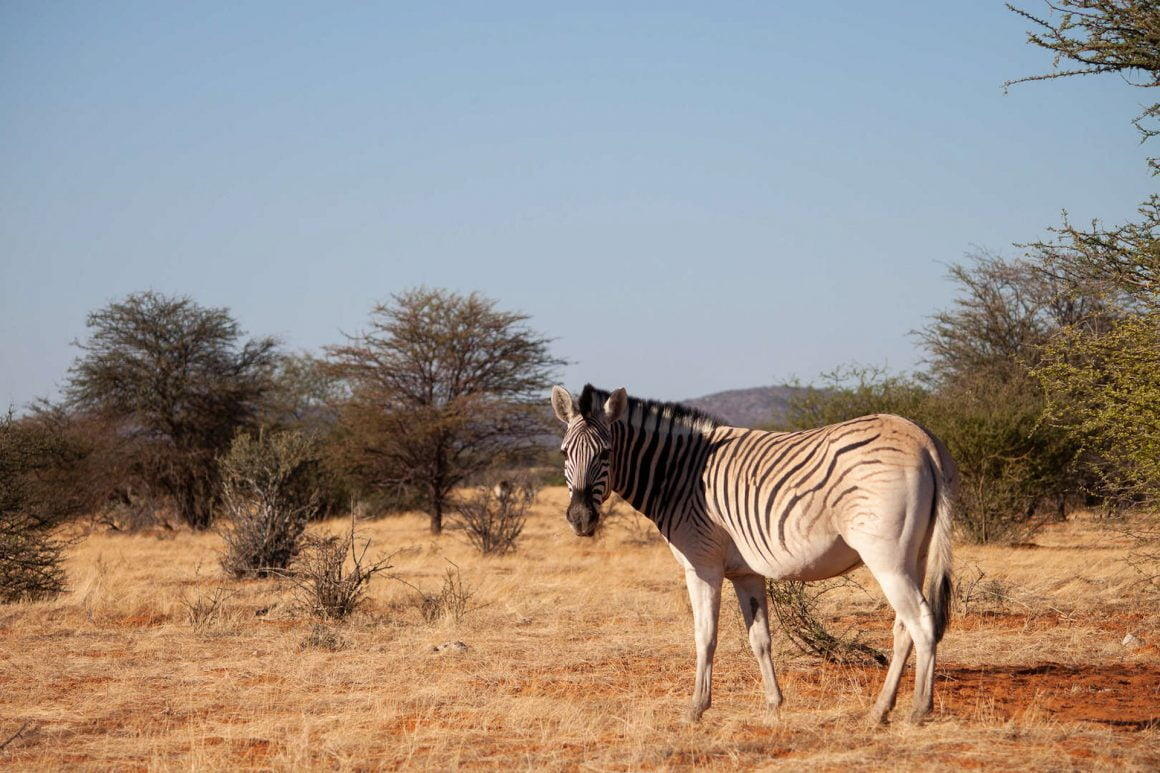 Zebra facing the camera as we drive in Etosha.