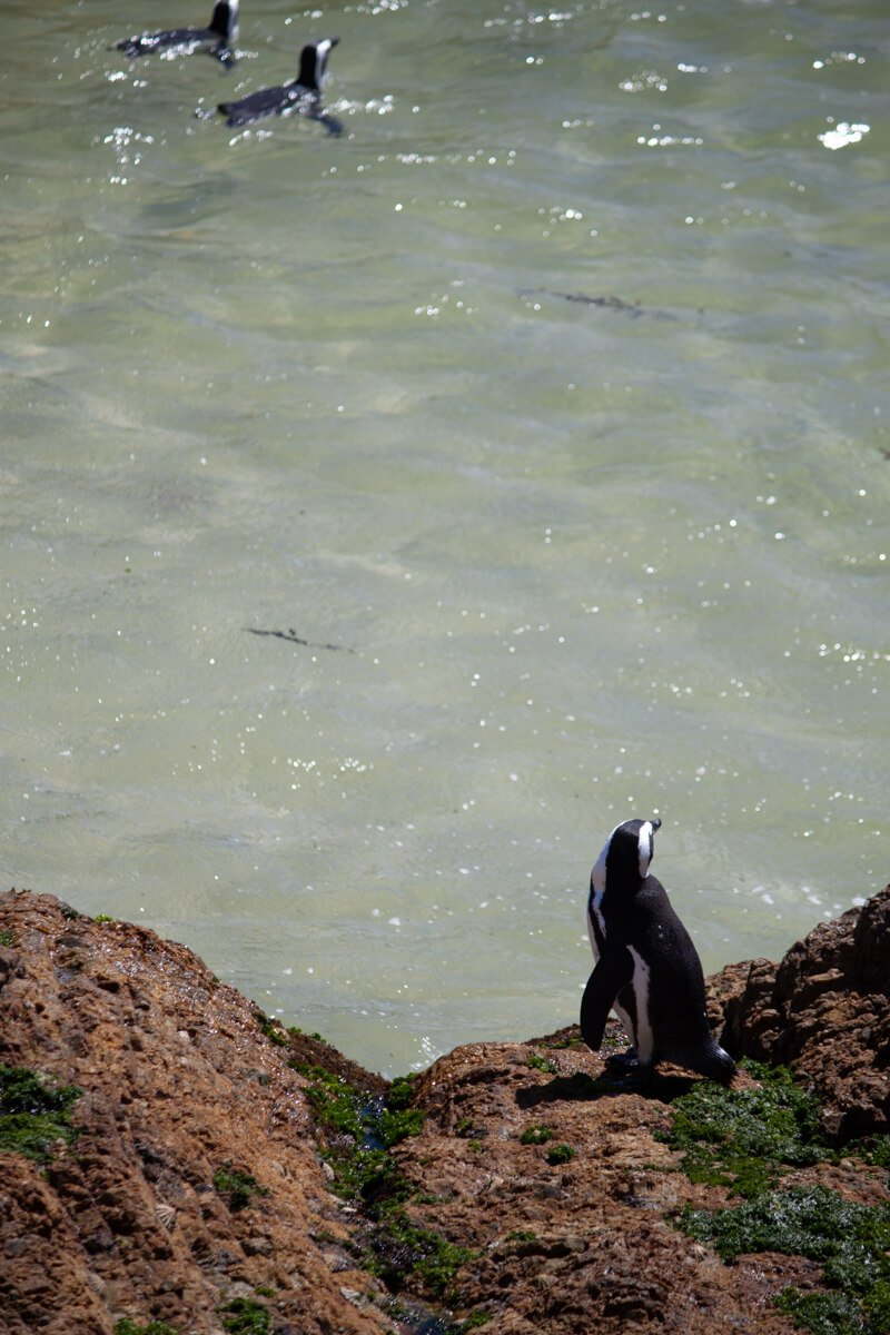 Penguin at Betty's Bay watching a couple of others swim by
