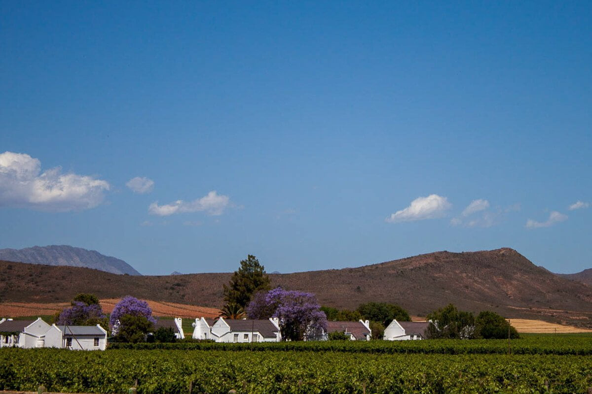 A vineyard and winery with Cape Dutch architecture in Robertson with purple jacaranda trees on the property.