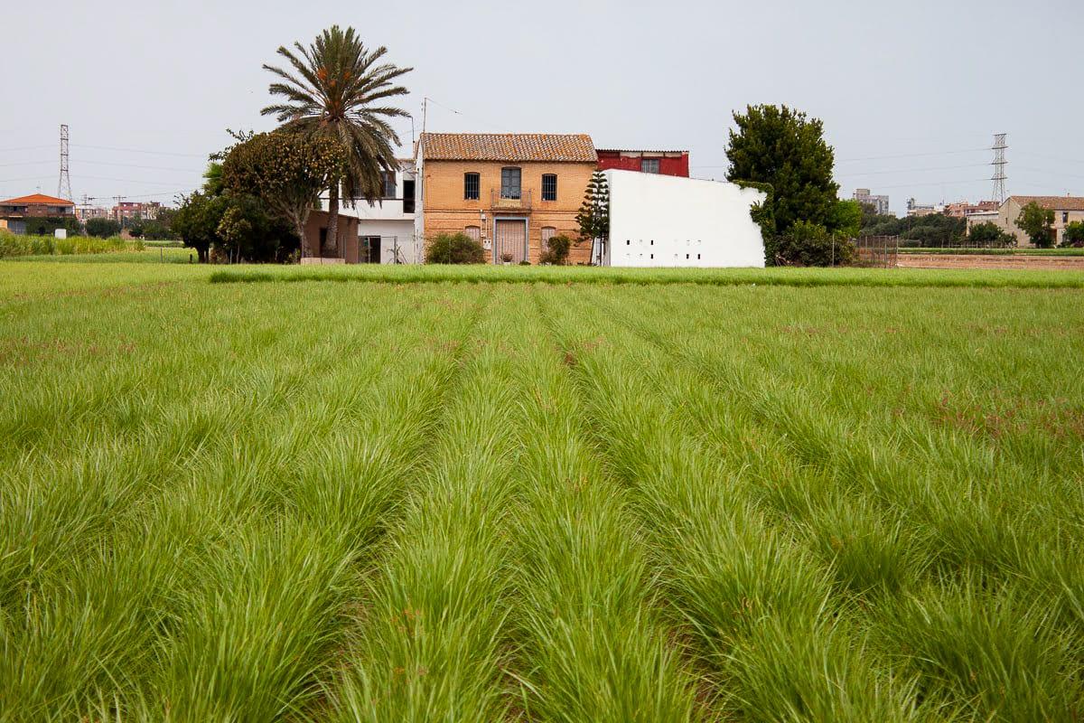 Chufa fields in Alboraya