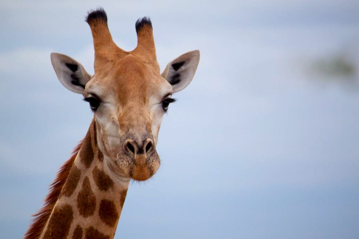 Giraffe close up from Kruger Park, South Africa