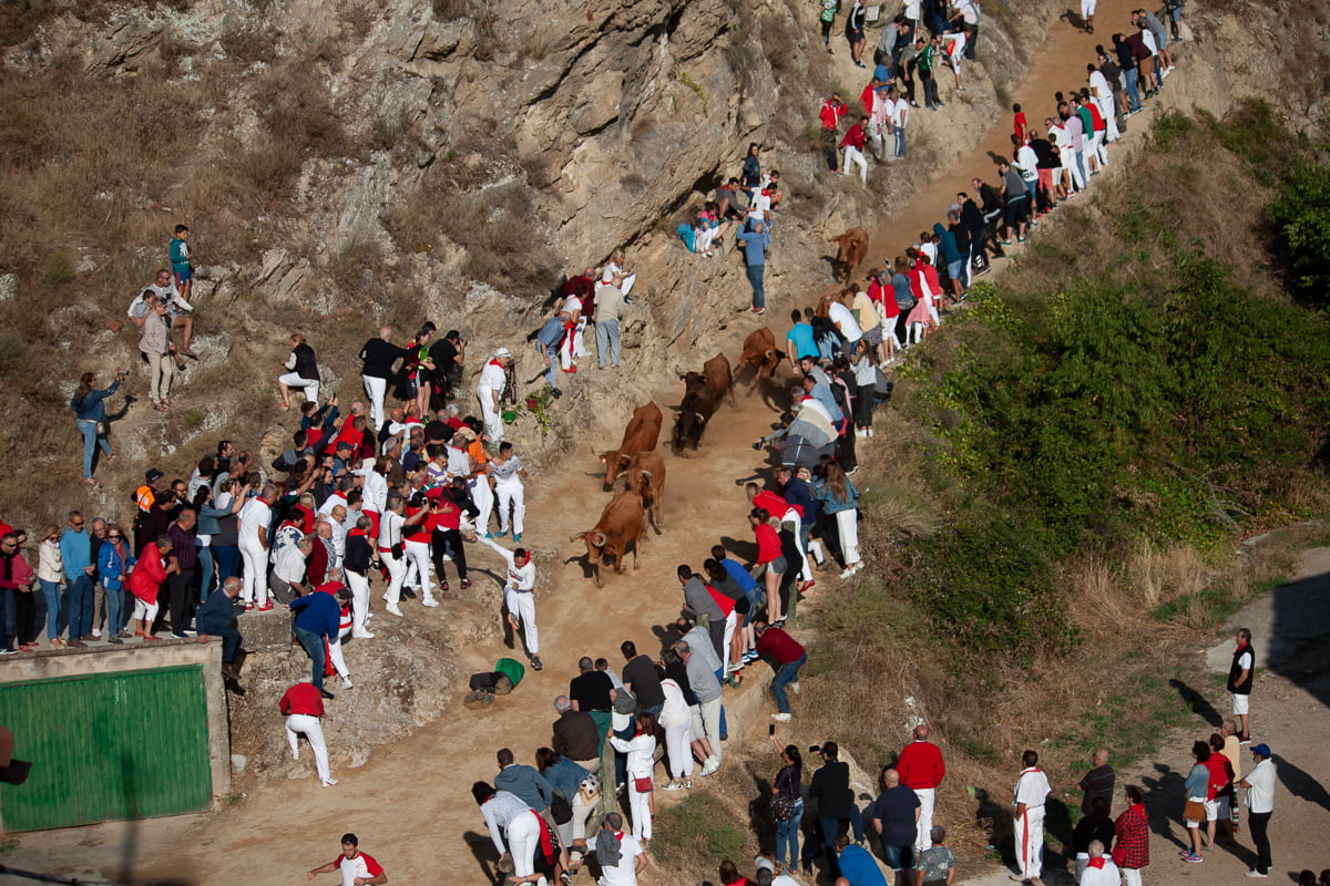 Running of the cows in Falses in Northern Spain