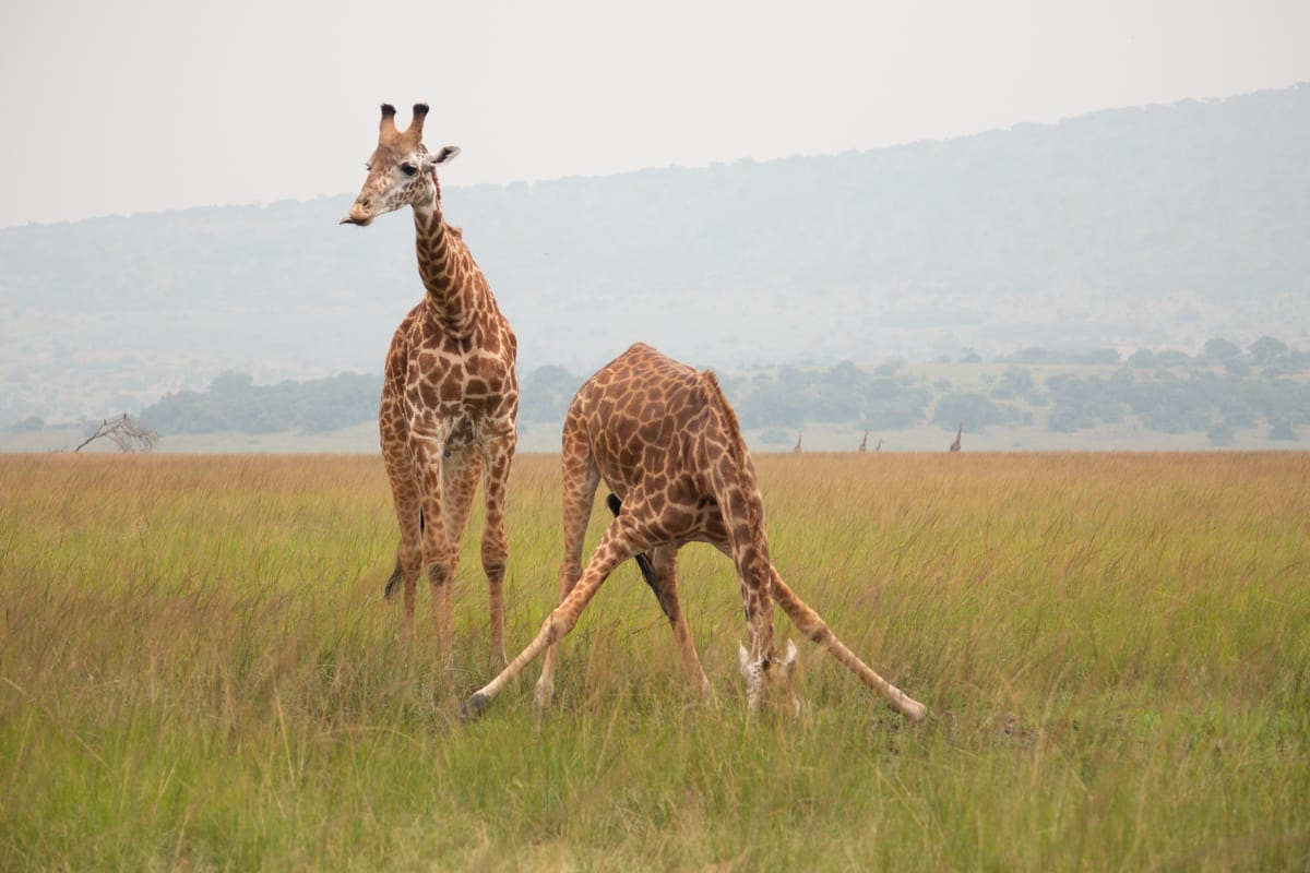 Two giraffes drinking water in Akagera