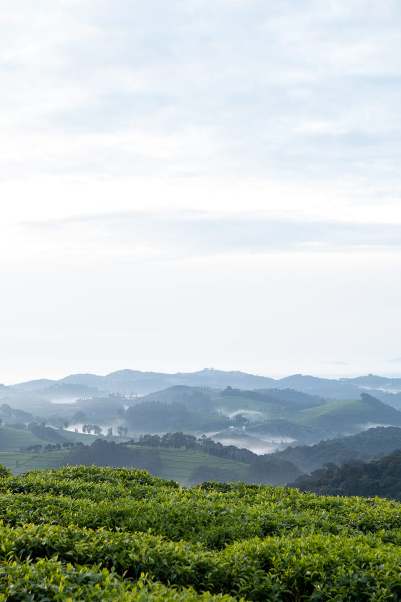 Sunrise views of Nyungwe forest and tea plantations from Kitabi Eco Lodge