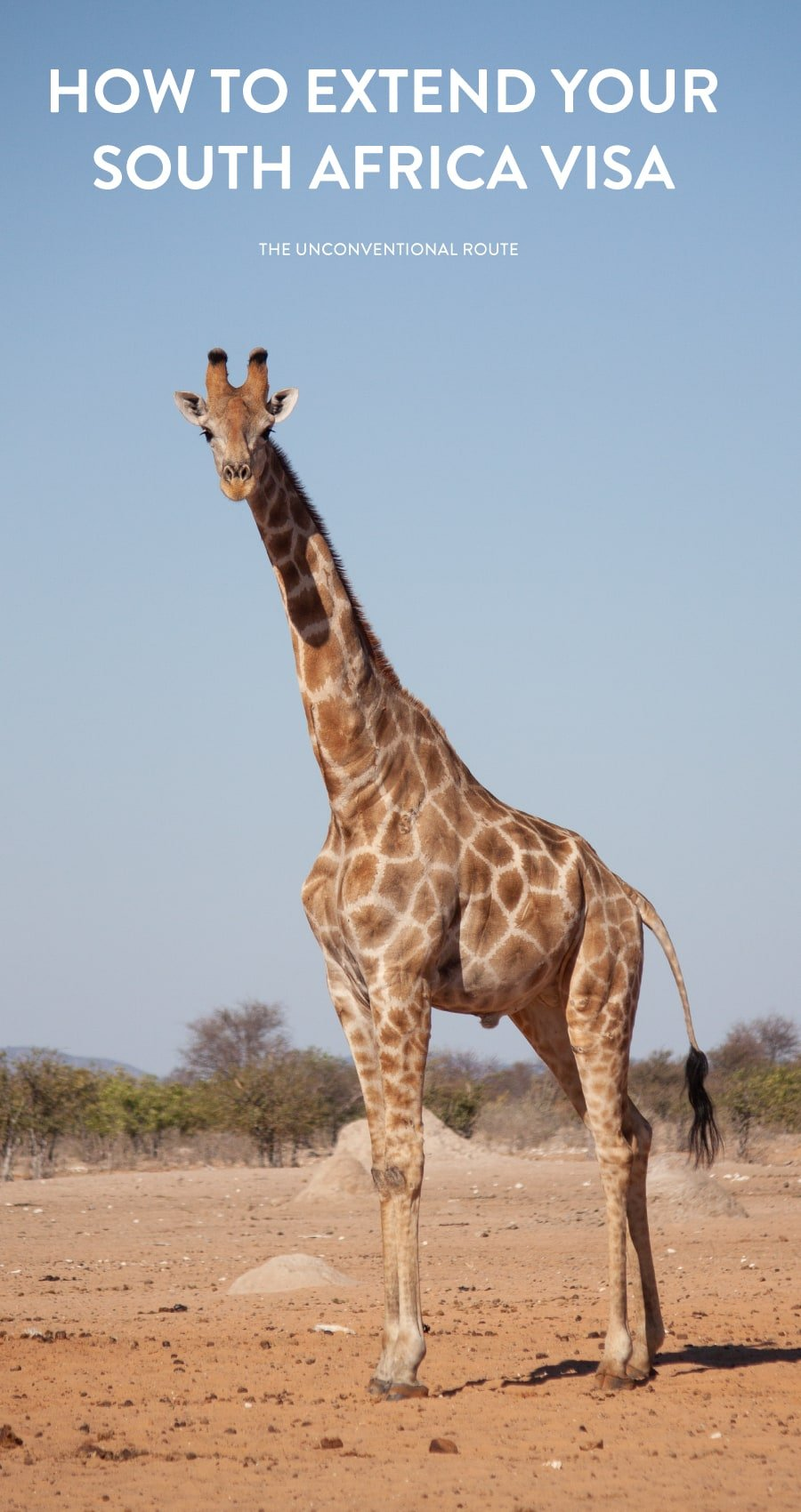 Giraffe on a safari in Etosha, Namibia