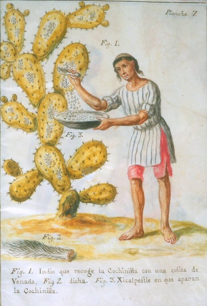 Old drawing of guy harvesting cochineal bugs to use as a food dye