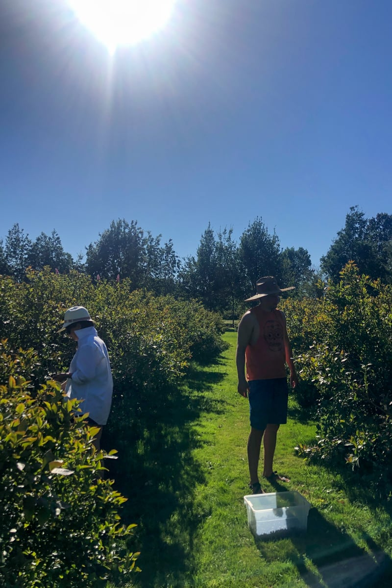 blueberry picking in richmond